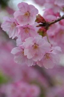 4月2日桜0002.jpg